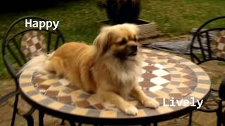 Tibetan Spaniel  [ MINI DOCUMENTARY ]