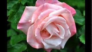 Парк Роз. Rose Garden Portland,OR(Известный красивейший парк в Портленде штата Орегон. Видео и фото цветущих роз. История предполагает что..., 2012-06-18T06:45:01.000Z)