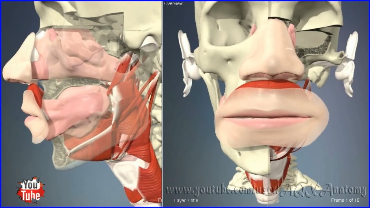 Nasal and oral cavity (mouth / nose) | 3D Human Anatomy | Organs ...