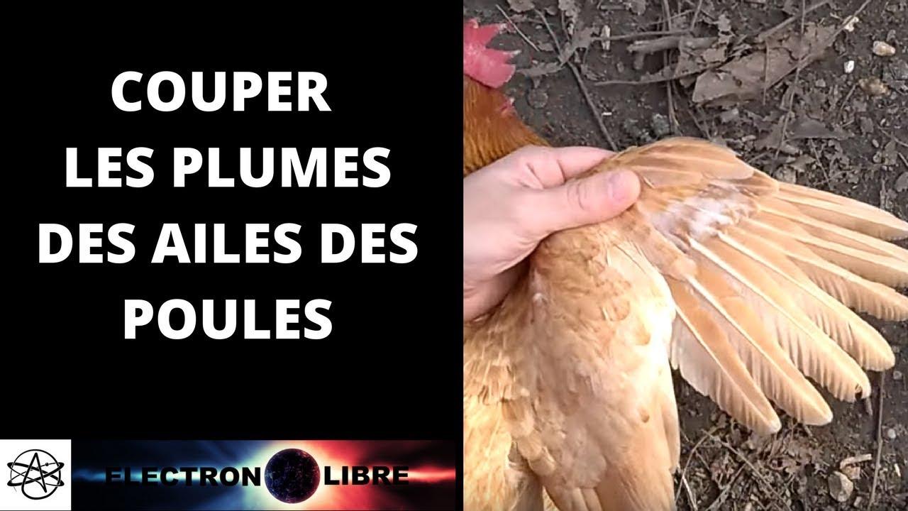 Couper les plumes des ailes des poules youtube - Doit on couper les tiges des orchidees ...