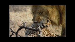 動物 野生 トップ 10 ライオン VS チーター 最高 の 攻撃 HD 動物 野生 ...