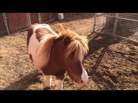 Free jumping Mini Horse