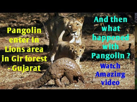 Part 1/2 WATCH UNBELIEVABLE EXTRAORDINARY VIDEO 6 Asiatic lions attack on rare Pangolin. Gir forest