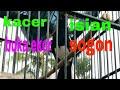 Kacer Bongkar Materi Sogon  Mp3 - Mp4 Download