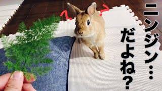 大好物の葉っぱと分かると美味しそうに食べるうさぎ Favorite leaves of rabbit #316