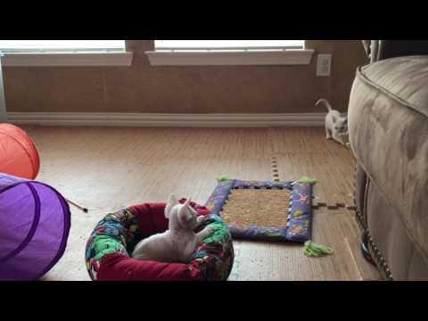 Devon Rex Kittens - Day 54
