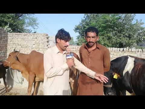 Repeat Watch sahiwal cross cow for sale 16_6_2019 in Punjab