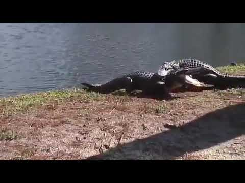 A Battle between Two Crocodiles