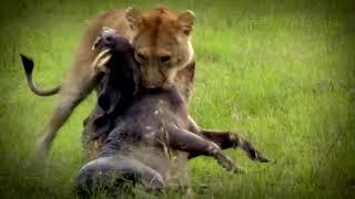 Моменты охоты и нападения львов на диких кабанов