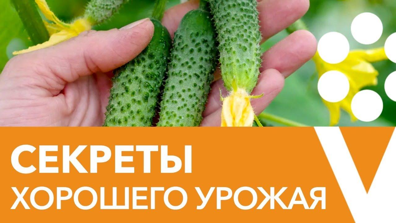 Секреты хорошего урожая огурцов. Прямой эфир с биологом