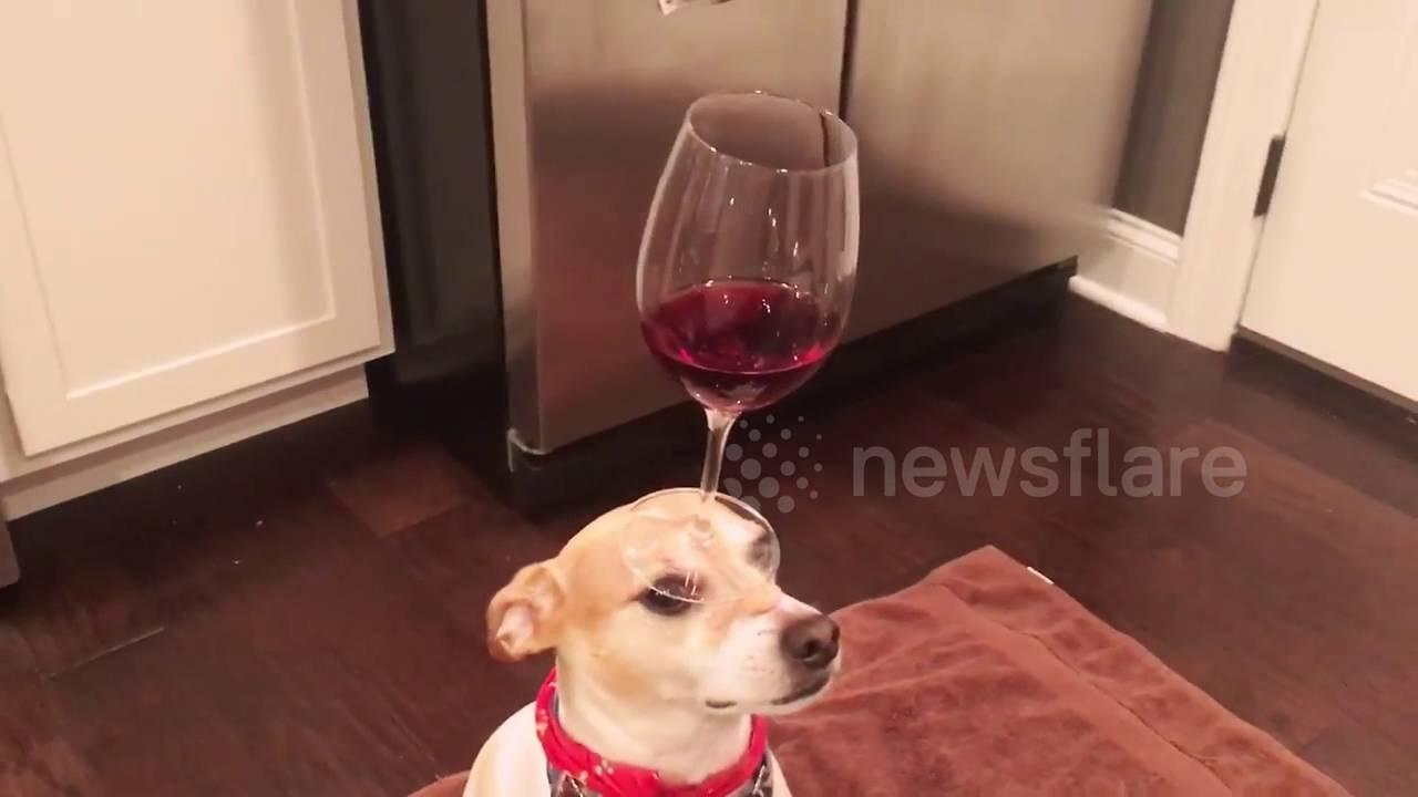 Perfect Dog Balances Wine Glass on Head - YouTube TR34
