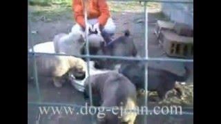 Kangal,������ www.dog-ejdan.com