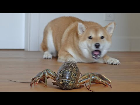 (ENG) Reaction when Shiba Inu meets LIVE Lobsters