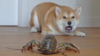 Shiba Inu Dog's Reaction to LIVE Lobsters
