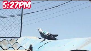 Dubai 7_Pigeons Landing After 2:46pm 46°Temperature|High Flying Pigeons