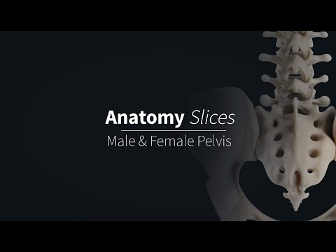Differences between the Male & Female Pelvises   Anatomy Slices