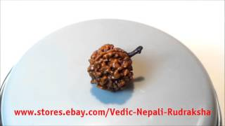 Buy Ek 1 Mukhi Round Rudraksha from Nepal / Rare / Natural / Collector / A++ Quality