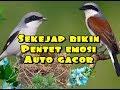 Masteran Pentet Dijamin Sekejap Bikin Pentet Emosi Auto Gacor  Mp3 - Mp4 Download
