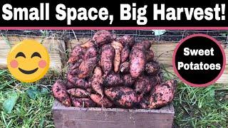 My Largest Sweet Potato Harvest!