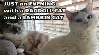 Just an Evening with Bowie The Ragdoll Cat and Bella The Lambkin Kitten