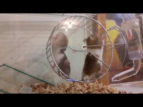 Hamsters muy muy locos y graciosos 
