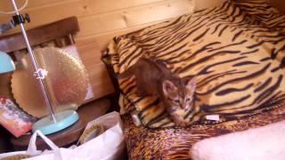 котенок-девочка породы тойгер Зайка, возраст 1,5 мес