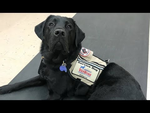 LIVE: Smart Service Dog Shows Us How He Helps His Veteran Mom at The Dodo