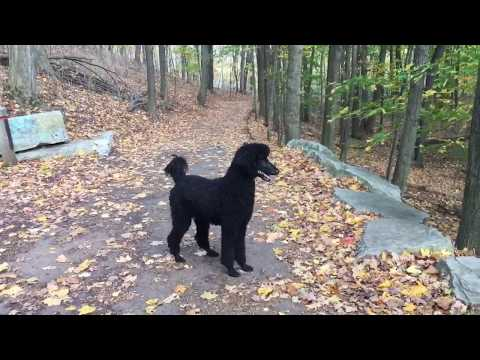 5 Year Old Standard Poodle