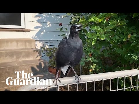 Australian Magpie Mimics Emergency Siren During NSW Bushfires