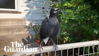 Australian magpie mimics emergency siren during NSW bushfires