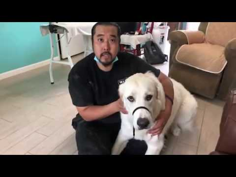 Grooming A Scared Great Pyrenees