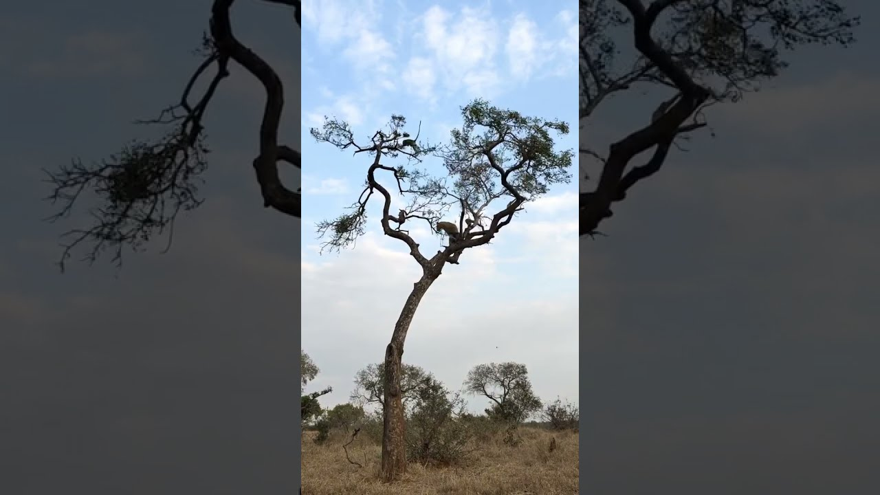 Incredible sighting of leopard chasing a monkey at the top of a tree