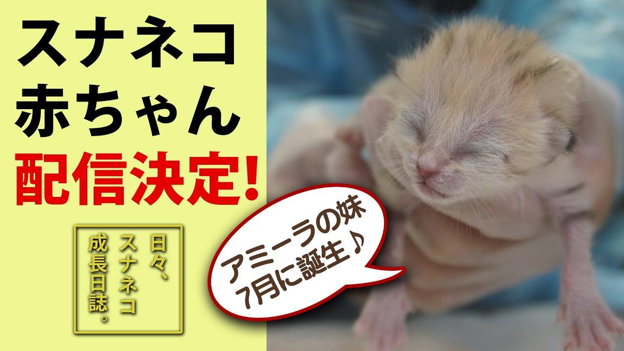 【お知らせ】アミーラに妹が!スナネコの赤ちゃん公開記念♪Announcements: The New Birth of Sand cats & YouTube Premier on 8/12/2020