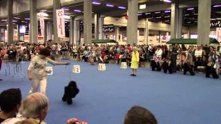 World Dog Show 2014 Poodle Medium Size