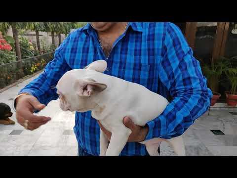 French Bulldog puppy -9812166600, 9728011133-  Doggyz World