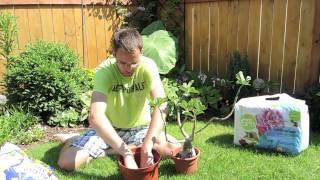 Adenium - Tough Love - Pruning