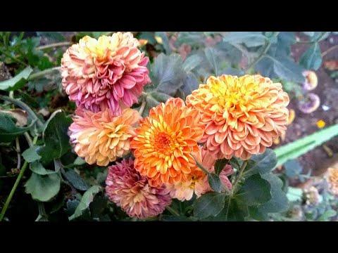 My Garden in Tamil/Home garden/Flower garden/Kitchen garden with English subtitles