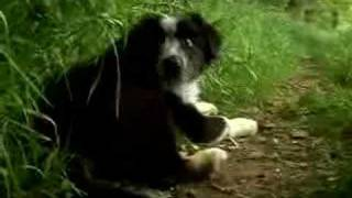 Border Collie Sheepdog Cute Dogs Puppies Playing Movie Trailer