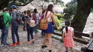 新宿御苑の散りゆく桜 お花見散歩 外国人で大賑わい 2016.4.8 Ohanami Sakura Shinjuku Gyoen Japan thumbnail