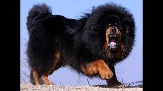 Тибетский мастиф  #1.// Идеальная собака. Лучший сторож.