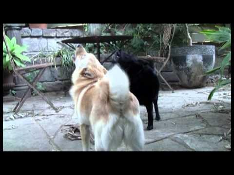 My Dogs: Schipperkes - Little Black Devil