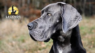 Great Dane: Obedience and Crate Training