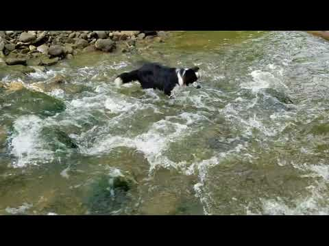 Spotty the Collie handles first rapid