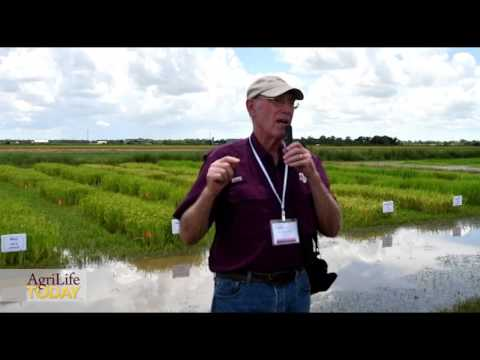 Organic Rice Farming Challenges