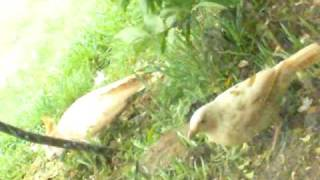 LEUCISM IN 2 BIRD SPECIES FILMED FEEDING TOGETHER
