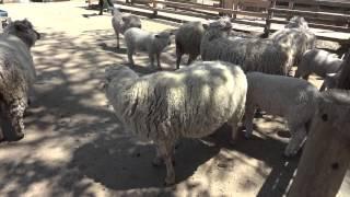 赤城クローネンベルクの羊の鳴き声.