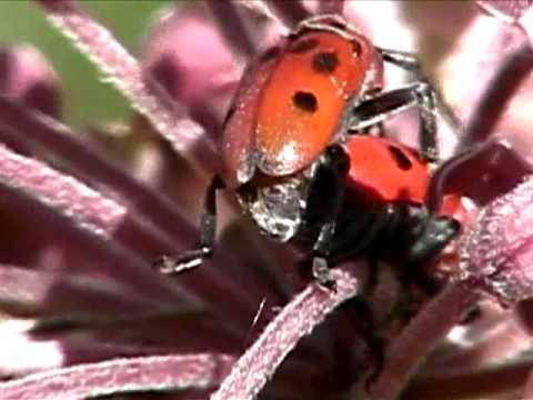 Milkweed Beetles