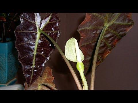 Как цветет алоказия в домашних условиях