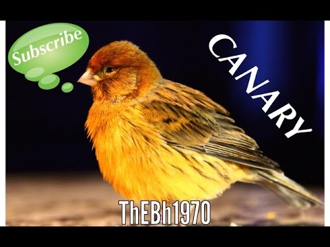 how to train canary to sing
