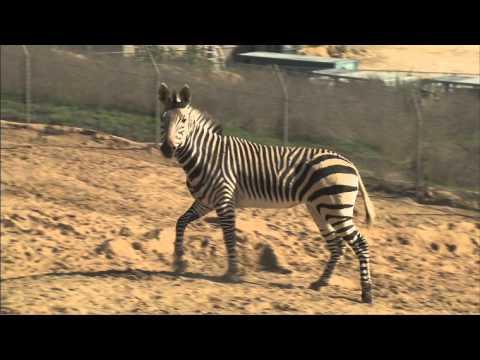 Safari Park Zebras thumbnail